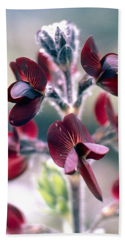Barbed Thermopsis Beach Towel featuring the photograph Barbed Thermopsis Or Black Pea by American School