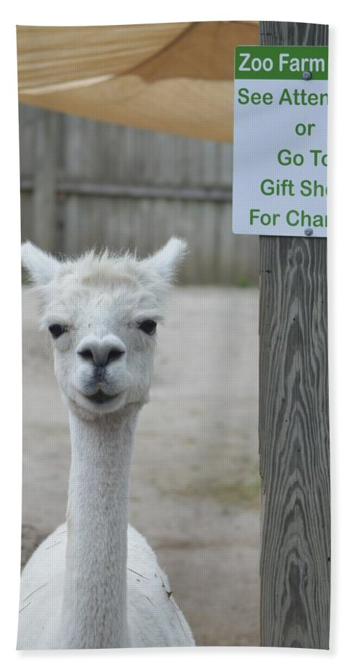 Alpaca Beach Towel featuring the photograph Begging Without A Word by Timothy Minarik
