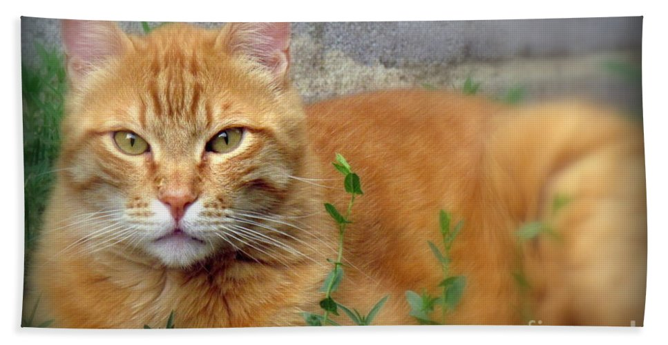 Nacho. The Big Orange Cat. Photographed At Home On June 28th 2016. Beach Towel featuring the photograph Big O by Krista Carofano
