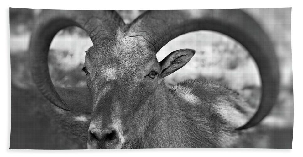 Antelope Beach Towel featuring the photograph Bighorn by Douglas Barnard
