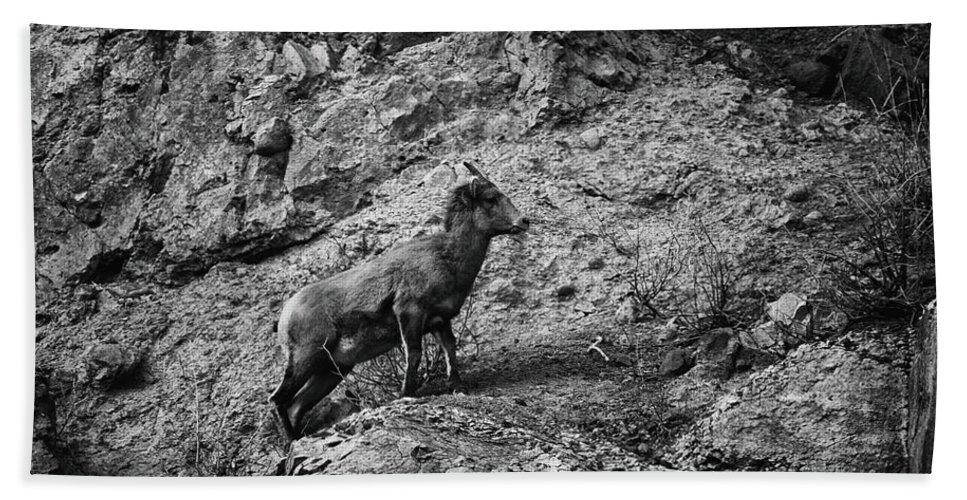 Wildlife Beach Towel featuring the photograph Bighorn Sheep Ewe On Wolf Creek Pass by Jason Coward