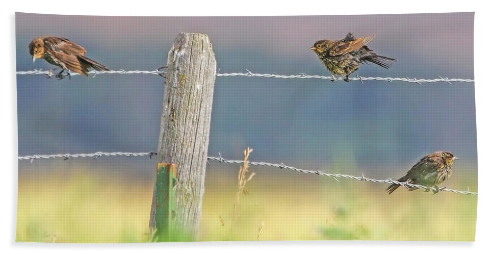 Female Red-wing Blackbird Beach Towel featuring the photograph Birds On A Barbed Wire Fence by Jennie Marie Schell