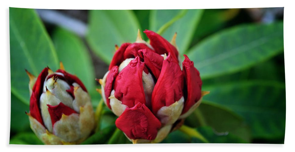 Rhododendron Beach Towel featuring the photograph Birth Of A Rhoddy by Tikvah's Hope