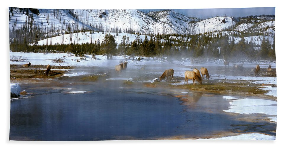 Mountains Beach Towel featuring the photograph Biscuit Basin Elk Herd by Ed Riche