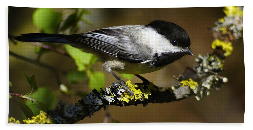 Spokane Beach Towel featuring the photograph Black Capped Chickadee by Ben Upham III