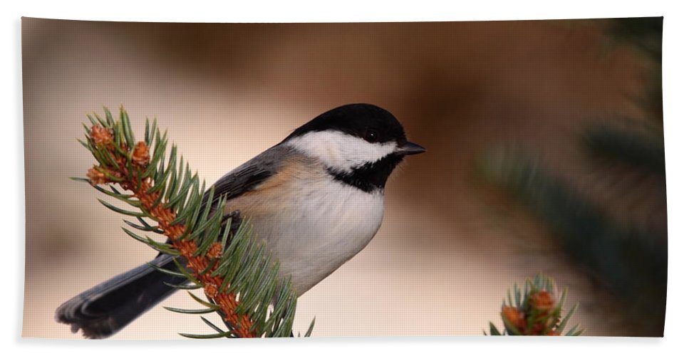Chickadee Beach Towel featuring the photograph Black-capped Cickadee II by Bruce J Robinson