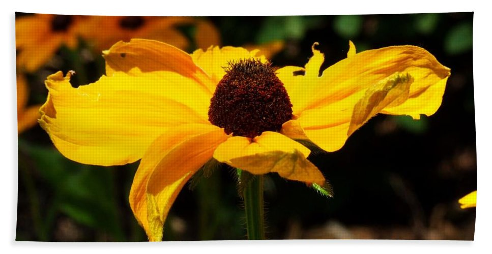 Black-eyed Susan Beach Towel featuring the photograph Black-eyed Susan by Michiale Schneider