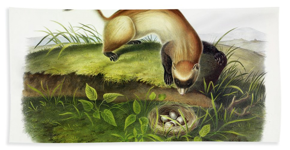 Black-footed Ferret Beach Towel featuring the painting Black-footed Ferret by John James Audubon