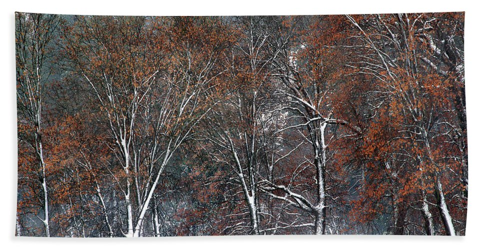 Black Oaks Beach Towel featuring the photograph Black Oaks In Snowstorm Yosemite National Park by Dave Welling