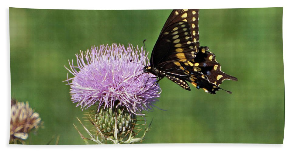 Butterfly Beach Towel featuring the photograph Spicebush Swallowtail Butterfly by Sandy Keeton