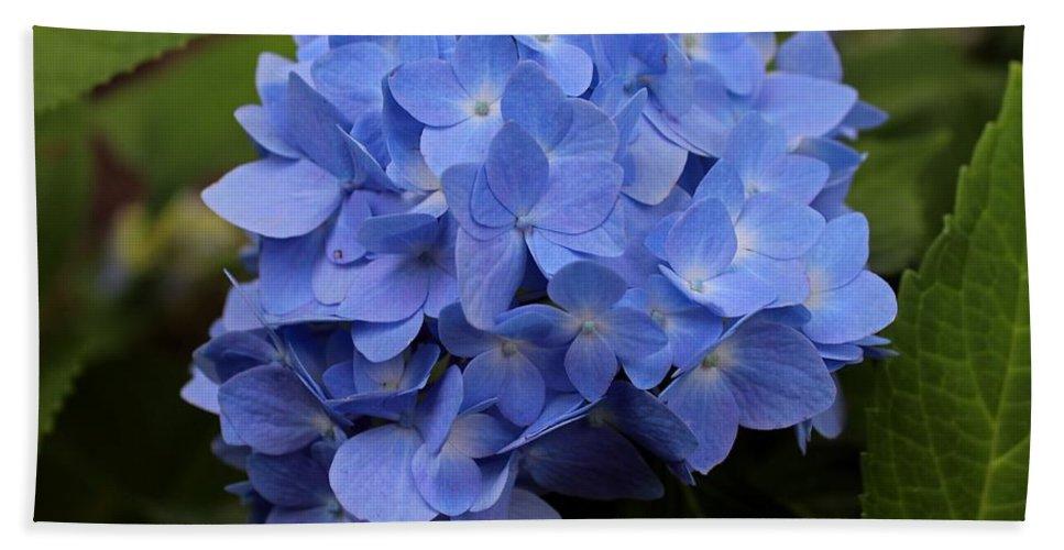 Hydrangea Beach Towel featuring the photograph Blue Ballet by Michiale Schneider