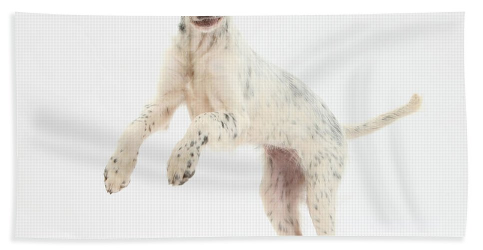 Dog Beach Towel featuring the photograph Blue Belton English Setter by Mark Taylor