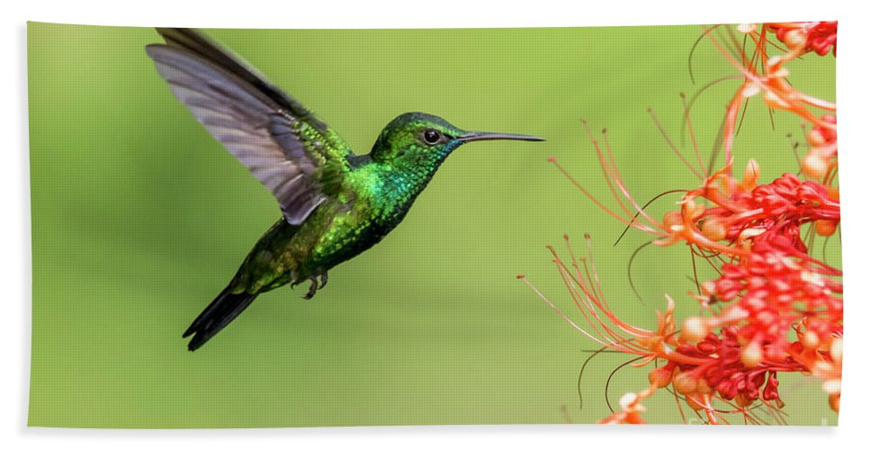 Hummingbirds Beach Sheet featuring the photograph Blue Chinned Sapphire by Rachel Lee Young