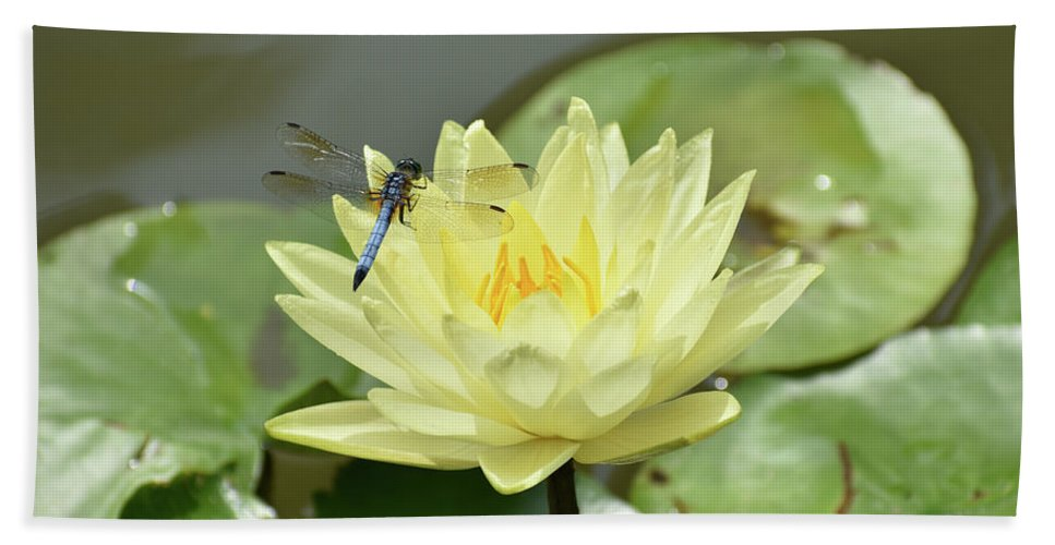 Blue Dragonfly Hovering Above Yellow Lotus Flower Beach Towel For