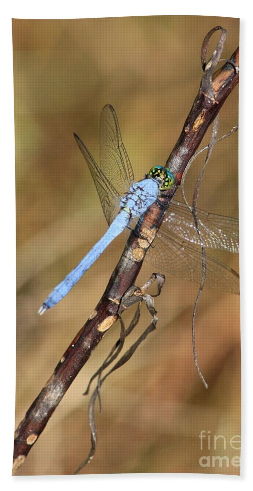 Dragonflies Beach Towel featuring the photograph Blue Dragonfly Portrait by Carol Groenen