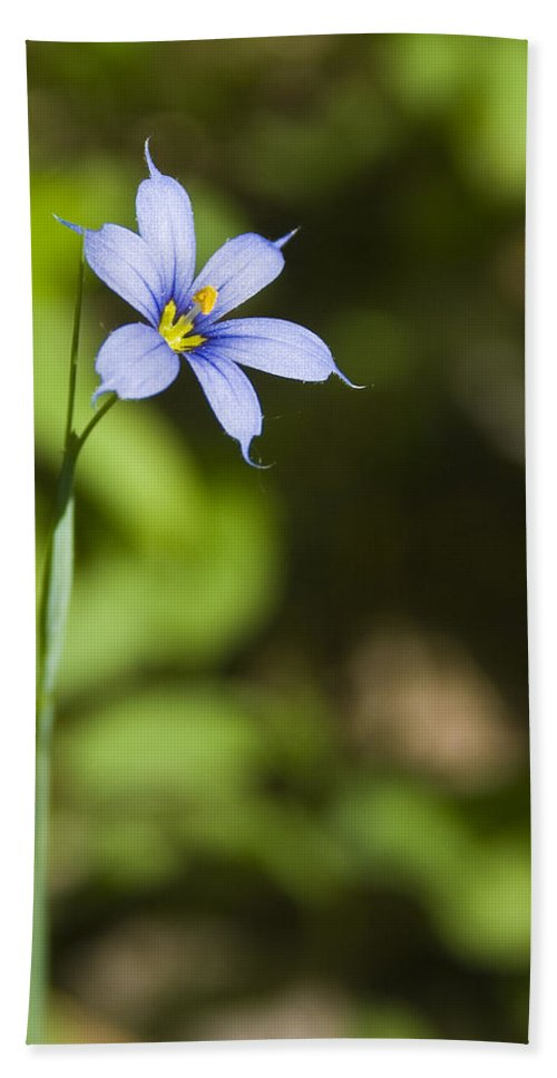 Blue Eye Grass Flower Nature Yellow Green Delicate Small Little Beach Towel featuring the photograph Blue-eyed Grass IIi by Andrei Shliakhau