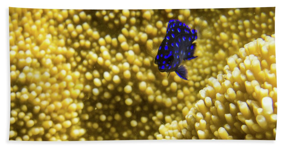 Underwater Beach Towel featuring the photograph Blue Fish In Coral by Rob Lantz