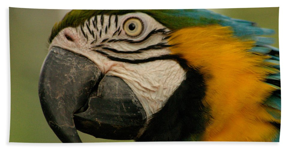 Parrot Beach Towel featuring the photograph Blue Gold Macaw South America by Ralph A Ledergerber-Photography