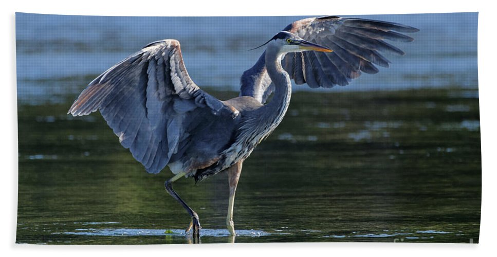 Great Blue Heron Beach Towel featuring the painting Blue Heron Show-off by Sue Harper