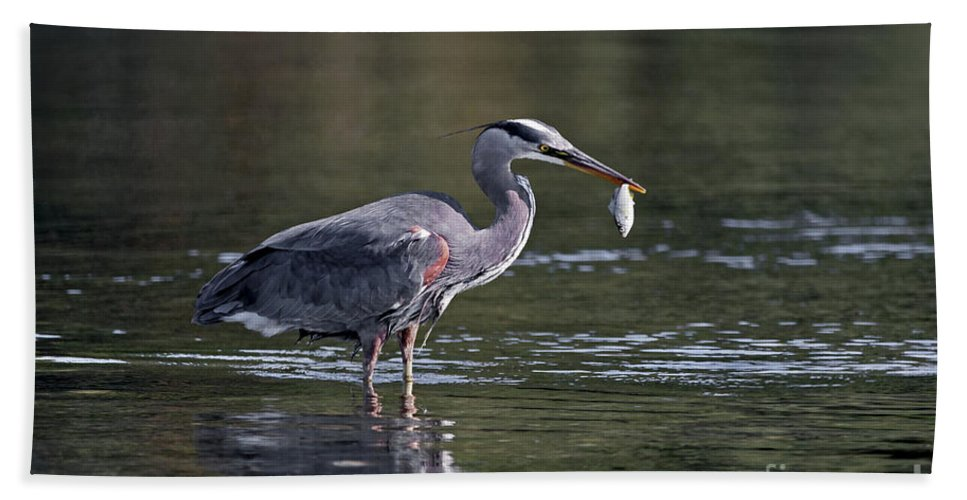 Great Blue Heron Beach Towel featuring the painting Blue Heron Snack by Sue Harper