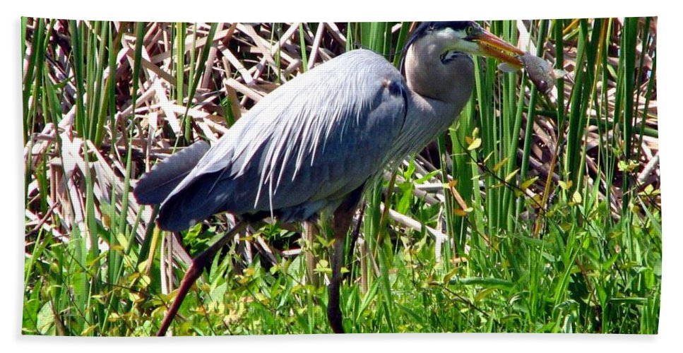 Bird Beach Towel featuring the photograph Blue Heron With Lunch by J M Farris Photography