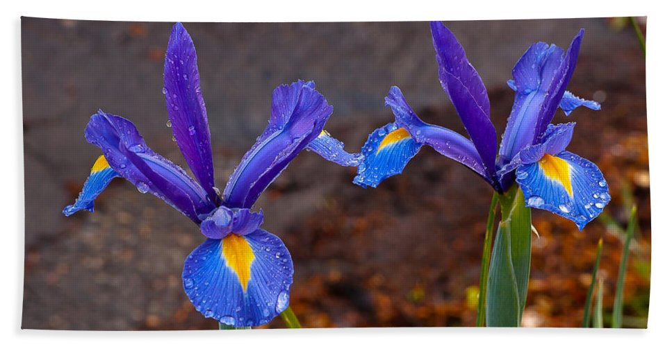 Blue Beach Towel featuring the photograph Blue Iris Germanica by Emerald Studio Photography