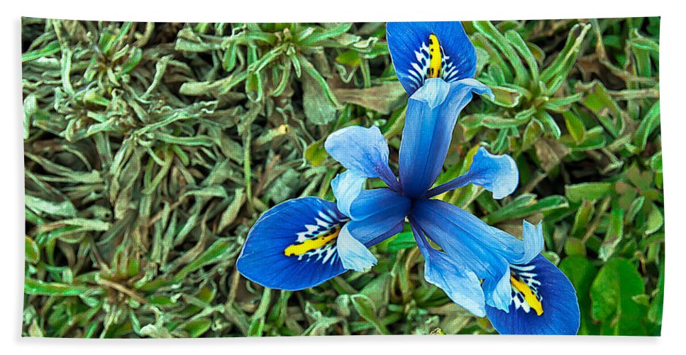 Blue Beach Towel featuring the photograph Blue Iris Hermodactyloides by Emerald Studio Photography