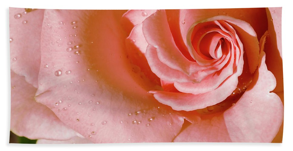 Rose Beach Towel featuring the photograph Blush Pink Rose by Phyllis Denton