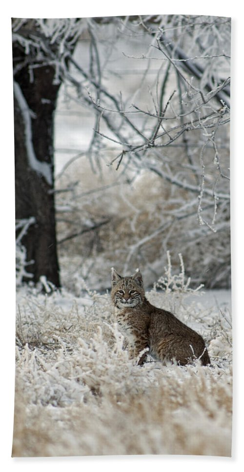 Bobcat Beach Towel featuring the photograph Bobcat And Heavy Frost by Gary Langley
