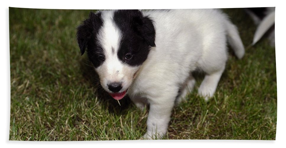 Border Collie Puppy Standing Beach Towel featuring the photograph Border Collie Puppy by Sally Weigand