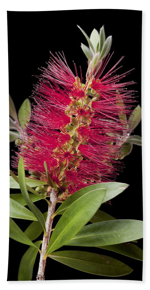 Bottlebrush Beach Towel featuring the photograph Bottlebrush 4 by Kelley King