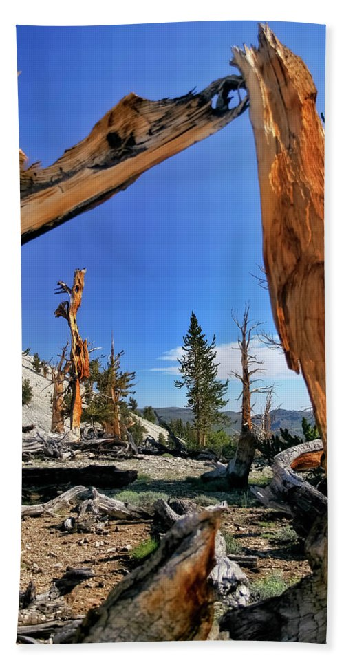 Bristlecone Pine Beach Towel featuring the photograph Bristlecone Pine Forest by Albert Seger