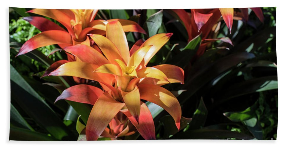 Succulent Beach Towel featuring the photograph Bromeliads by Judy Wolinsky