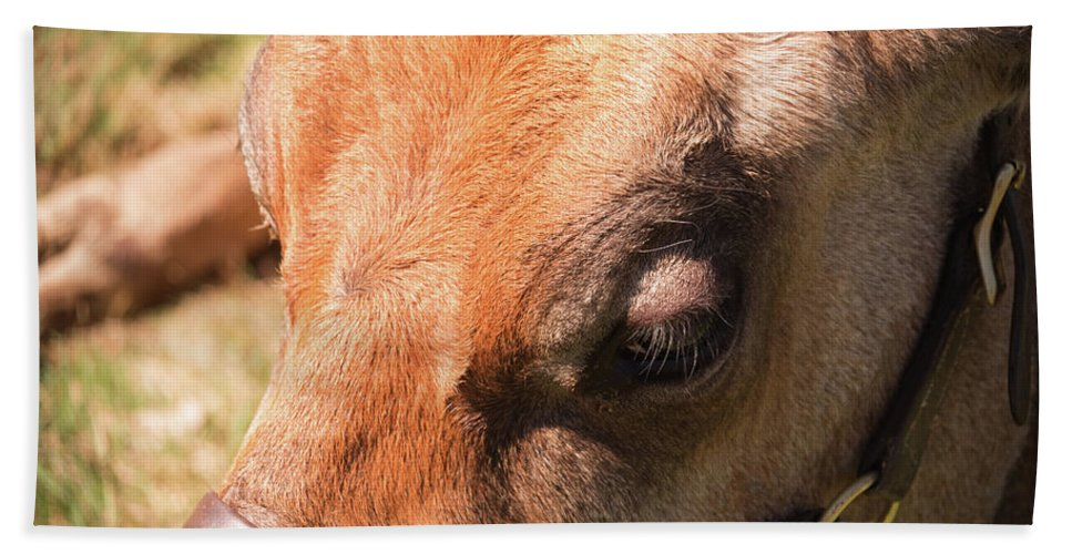 Cow Beach Towel featuring the photograph Brown Cow 2 by Diane Schuler