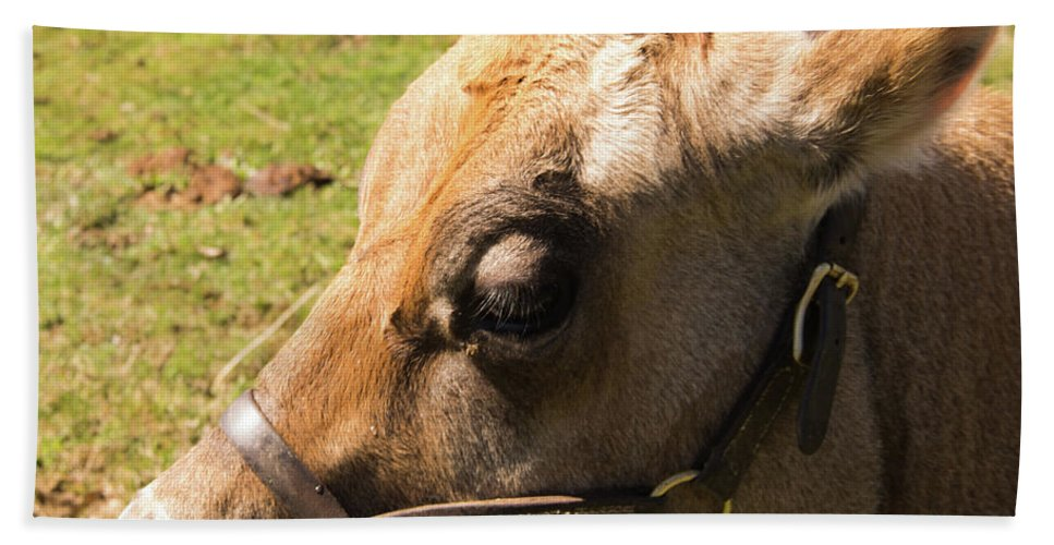 Cow Beach Towel featuring the photograph Brown Cow by Diane Schuler