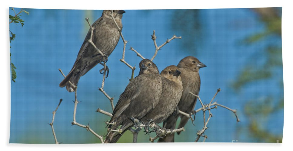Brown-headed Cowbird Beach Sheet featuring the photograph Brown-headed Cowbirds by Anthony Mercieca