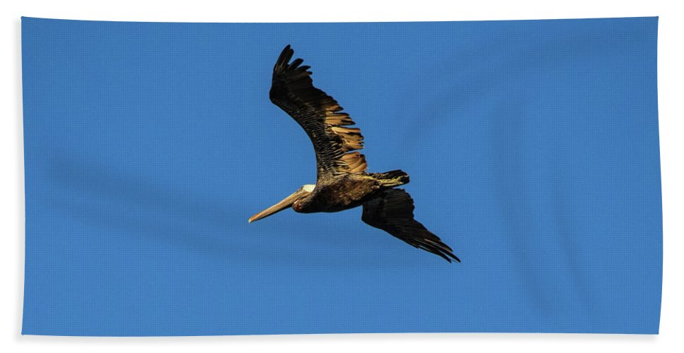 Brown Pelican Beach Towel featuring the photograph Brown Pelican Soars Above by William Tasker