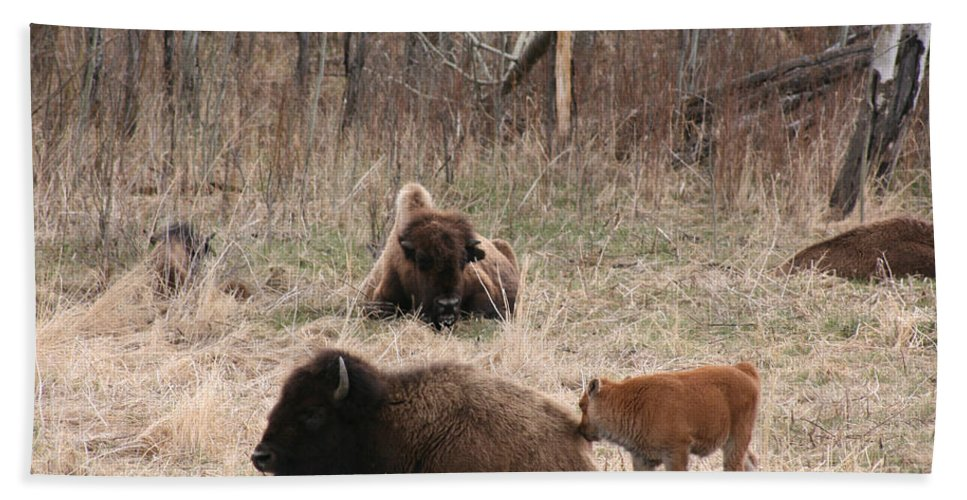 Bison Buffalo Calf Baby Animals Nature Love Native Beach Towel featuring the photograph Buffalo And Calf by Andrea Lawrence