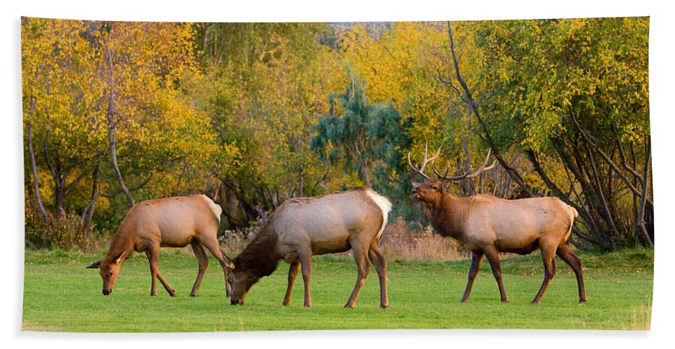 Autumn Beach Towel featuring the photograph Bull Elk Bugling With Cow Elks - Rutting Season by James BO Insogna