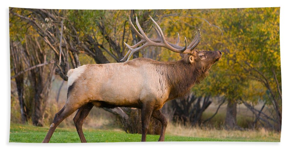 Autumn Beach Towel featuring the photograph Bull Elk In Rutting Season by James BO Insogna
