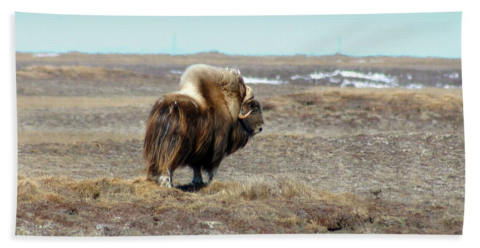Bull Beach Sheet featuring the photograph Bull Musk Ox by Anthony Jones