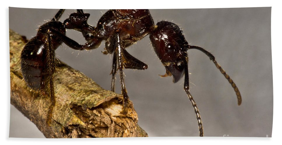 Bullet Ant Beach Towel featuring the photograph Bullet Ant by Dant� Fenolio