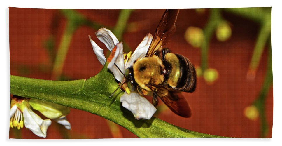 Bee Beach Towel featuring the photograph Bumblebee On A Hardy Orange Blossom 002 by George Bostian
