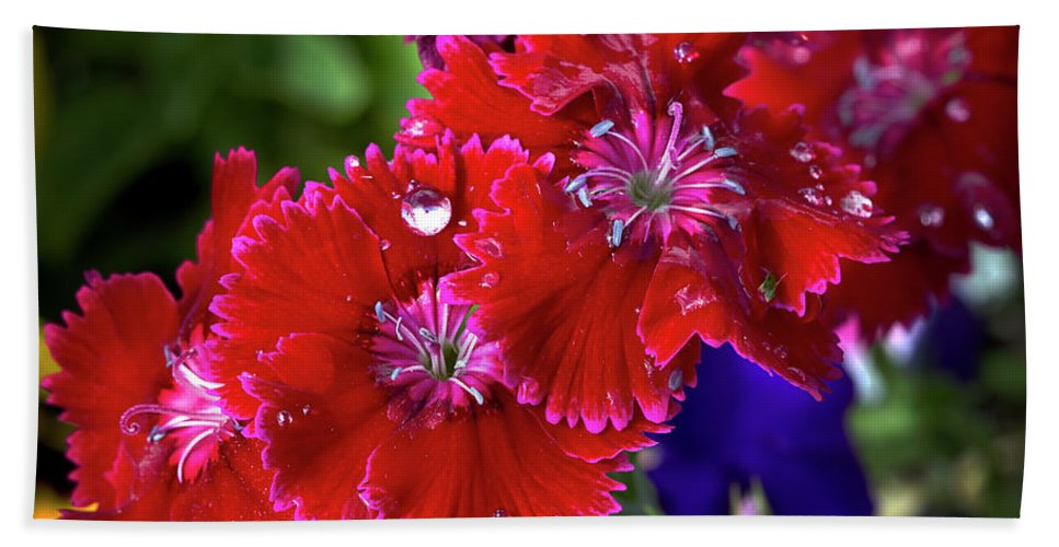 Dianthus Beach Towel featuring the photograph Burgandy Red Dianthus by Phyllis Denton