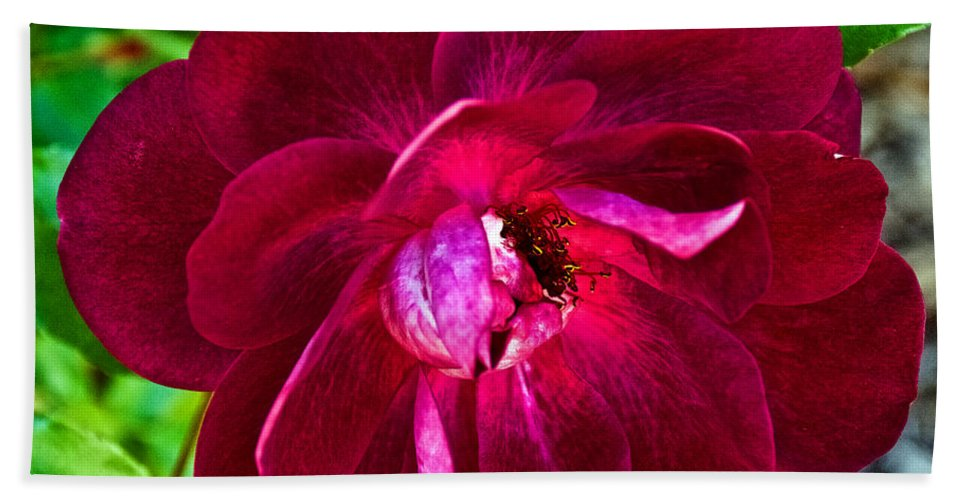 Burgundy Red Rose At Pilgrim Place In Claremont Beach Towel featuring the photograph Burgundy Red Rose At Pilgrim Place In Claremont-california by Ruth Hager