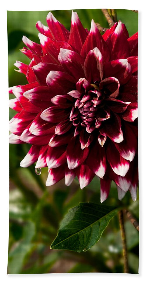 Flower Beach Towel featuring the photograph Burst Of Red by Christopher Holmes