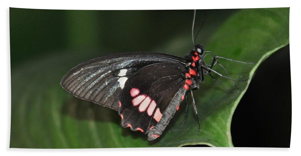 Butterfly Beach Towel featuring the photograph Butterfly 1 by Rich Bodane