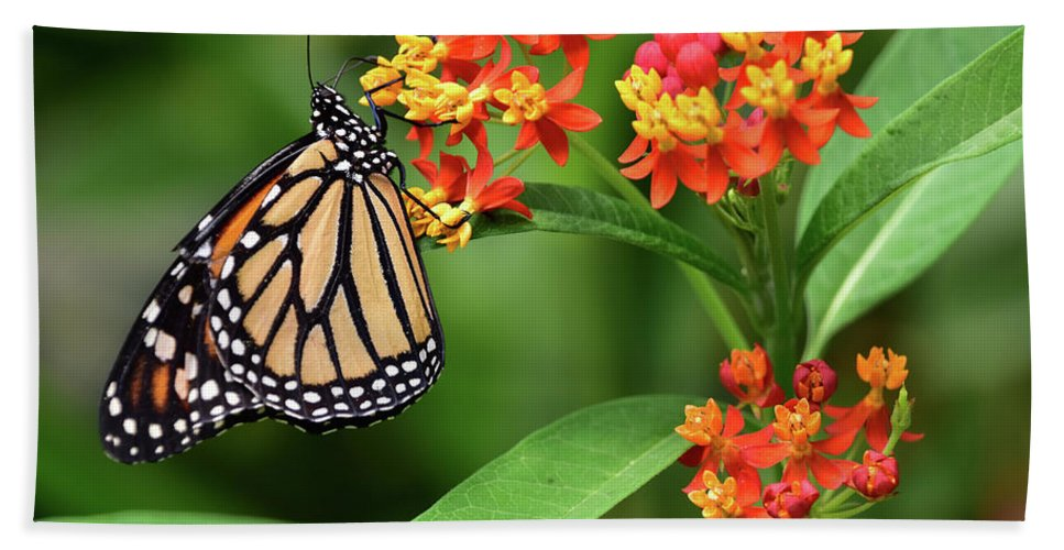 Butterfly Beach Towel featuring the photograph Butterfly Resting On Flower by Mihaela Pater