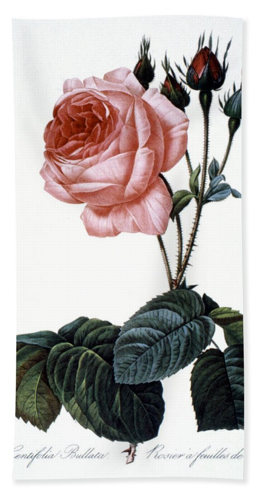 1833 Beach Towel featuring the photograph Cabbage Rose by Granger