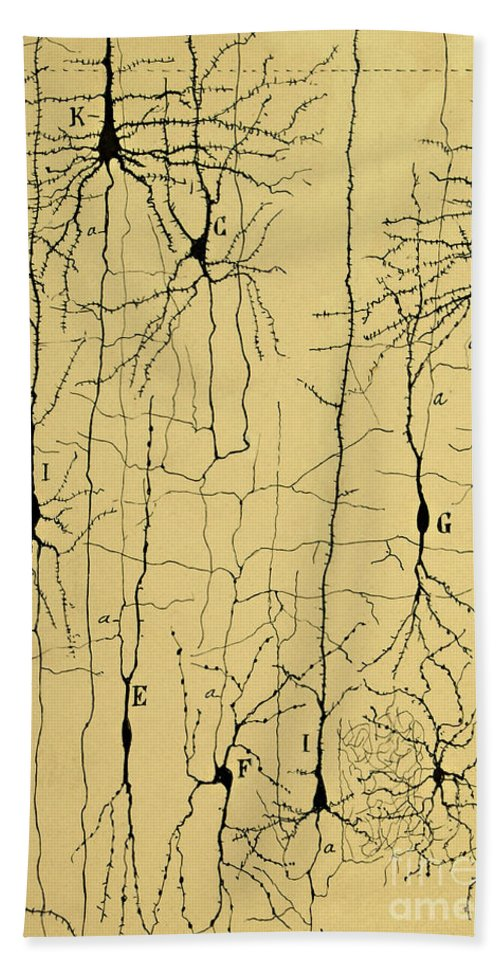 Science Beach Towel featuring the photograph Cajal Drawing Of Microscopic Structure Of The Brain 1904 by Science Source